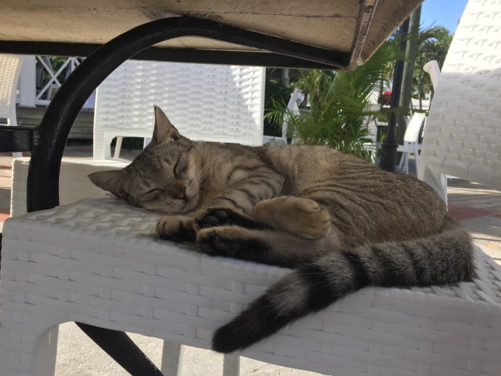 Cats of the World: Turks and Caicos